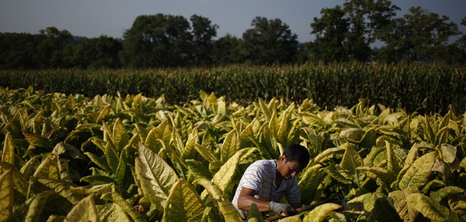 Tobacco Harvesting Underway In Kentucky
