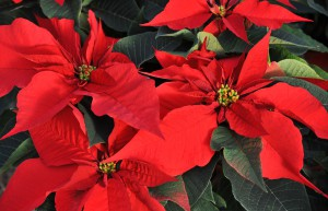 FRANCE-AGRICULTURE-POINSETTIA-CHRISTMAS