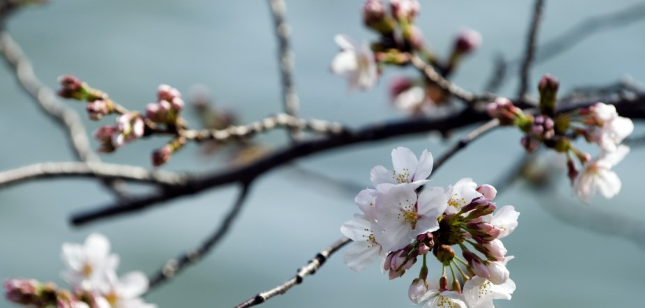 Cherry blossom trees begin to bloom adja