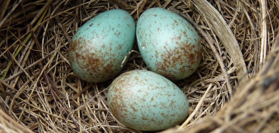 Blackbird_nest_with_4_eggs