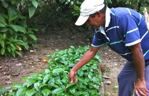 COLOMBIA_VILLAGERS Jairo's+coffee+seedlings