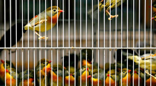 Captive birds for sale are contained in