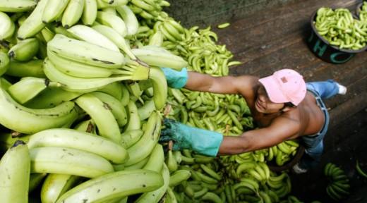 A worker unloads bananas in a market in