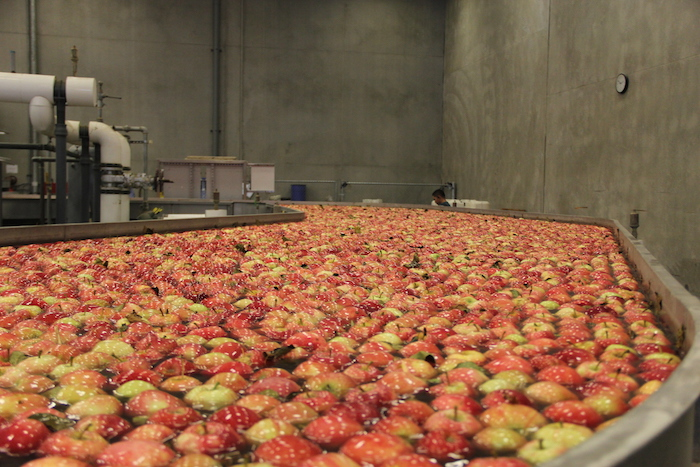 A river of apples at Washington Fruit, the largest apple packing facility in the world. Warehouses like this one dot the Yakima Valley.